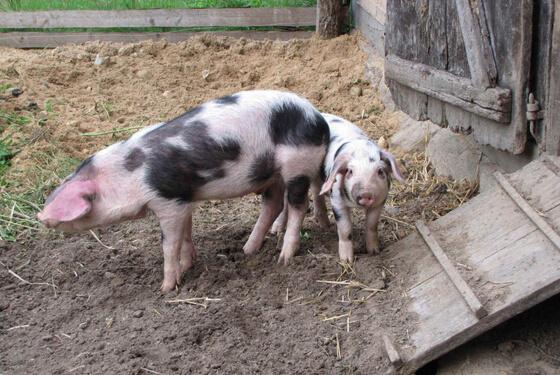 Schweine © Hösseringen