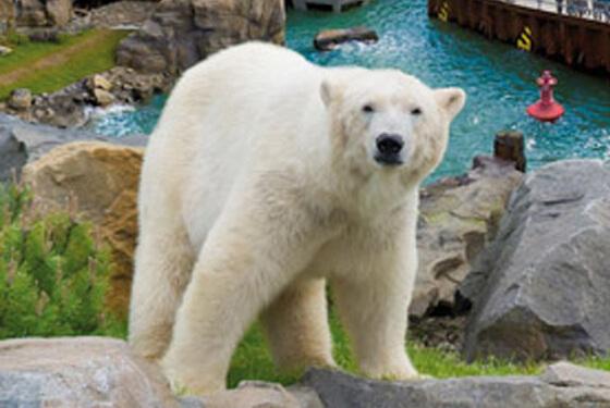 Eisbär © Erlebnis Zoo Hannover