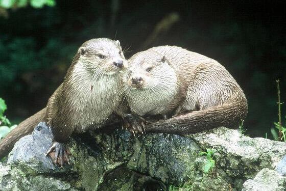 Otter © Otterzentrum