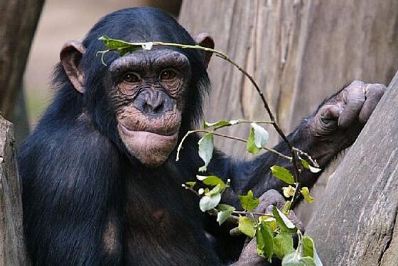 Schimpanse © Serengeti Park