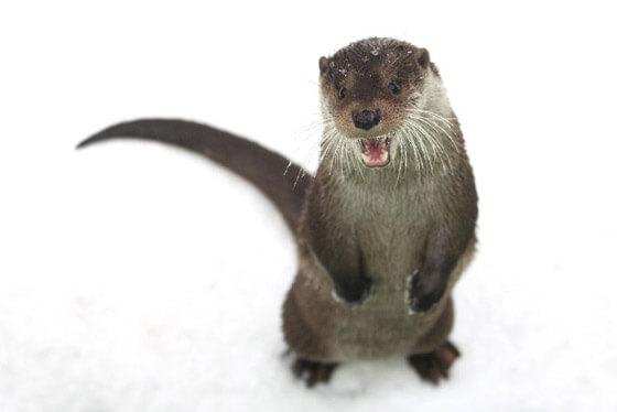 Otter ©Wildpark Nindorf