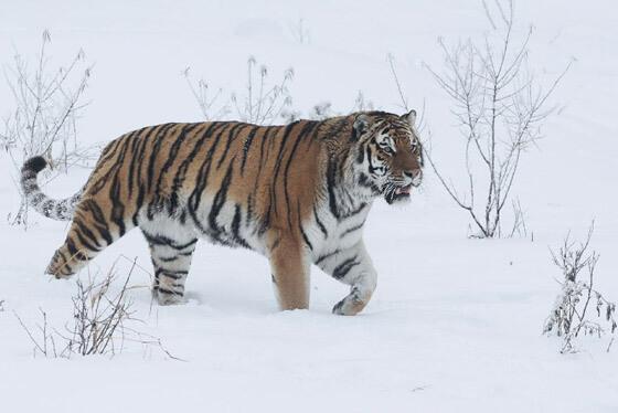 Tiger im Schnee ©Wildpark Nindorf
